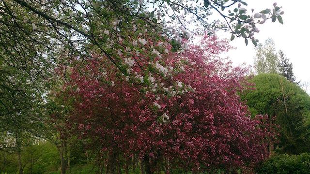 Smaragd õunapuu1
