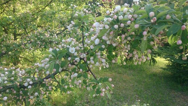 smaragdõunapuu3
